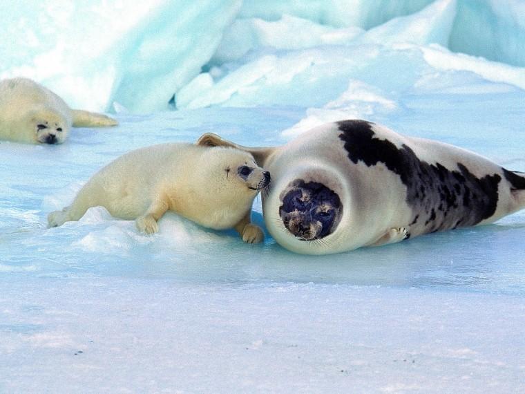 Международный день защиты бельков (детенышей тюленя)